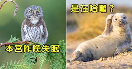 12張「野生動物爆笑照」出爐 屁孩獅「一拳」讓同伴閉嘴!