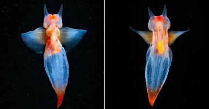 北海驚現「自己會發光」的小天使 收起翅膀變「深海蝙蝠」!