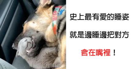 呆萌貓「在狗狗嘴裡睡死」 主人:牠在表達信任❤