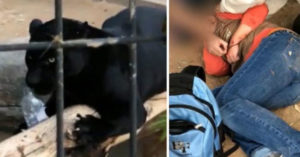 白目女「違規自拍」被美洲豹攻擊 民眾暴怒:傷害人類就該死!