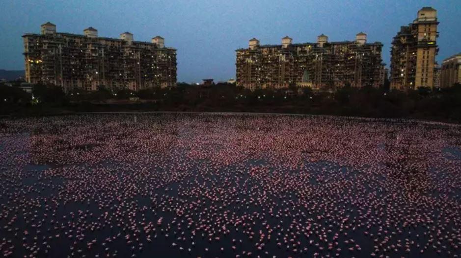 孟買湖泊「被染紅」近看是絕美生物!民眾每天「趴陽台」搶拍照