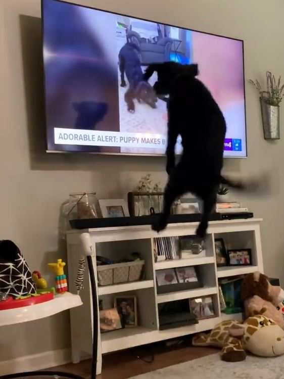 影/狗狗發現自己變「電視明星」爽到高空彈跳30次:我紅了!