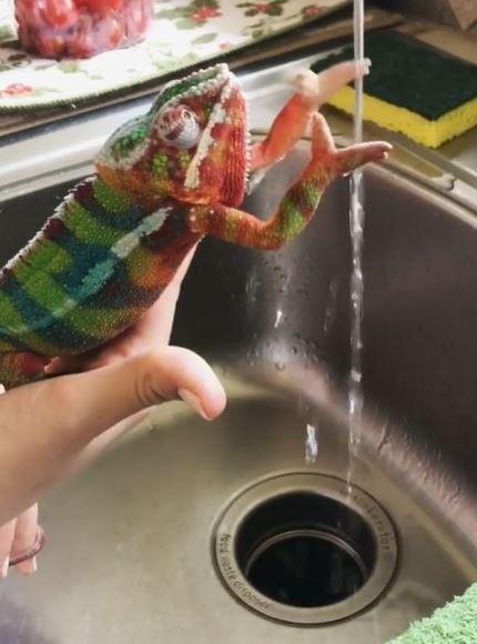 影/變色龍教「防疫洗手操」 完成「5大步驟」比人類還專業!