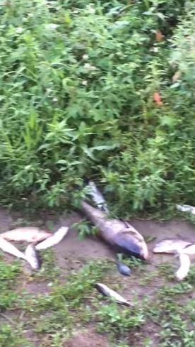 古亭河濱公園「魚群大量暴斃」遍布河岸 居民嚇呆:草叢裡也有!
