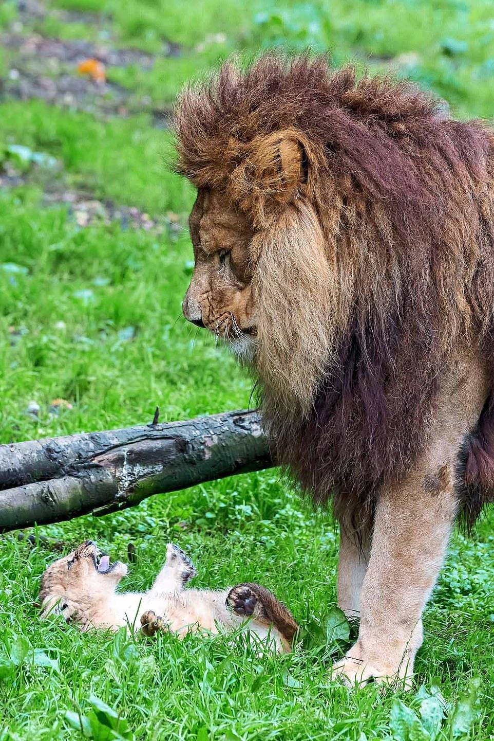 獅子爸「新手育兒」孩子全崩潰 媽媽回家「眼神死」網笑瘋!