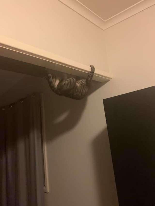 超猛「蜘蛛貓」興趣是倒吊天花板 主人:牠每週都在進化...