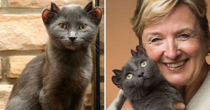 稀有藍貓天生就有「4隻耳朵」 醫生驚:小心被搶走
