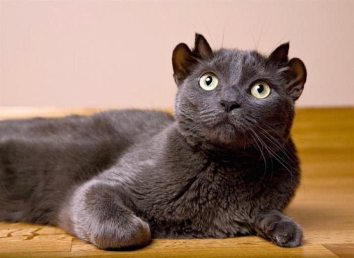 稀有藍貓天生就有「4隻耳朵」 醫生看驚呆:小心被搶走!