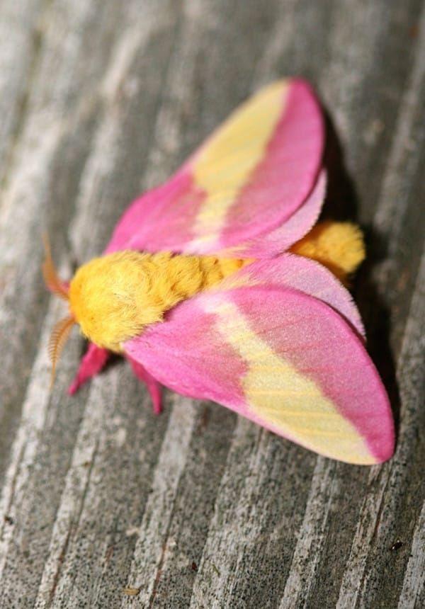 會飛的棉花糖!「蛾界小精靈」超夢幻 連身體都是少女配色❤