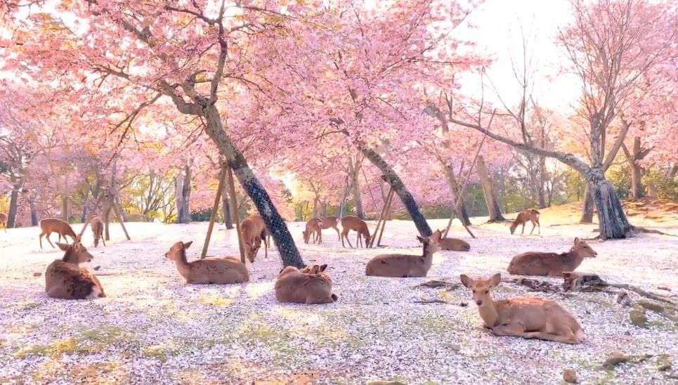 奈良公園「沒遊客」變回仙境 小鹿配「粉櫻花海」美到像畫!