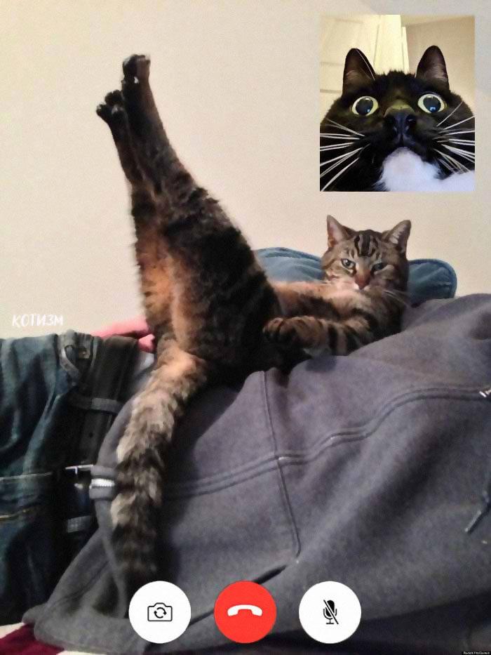 貓皇「重口味視訊」畫面流出 牠「掰開雙腿」超大膽誘惑!