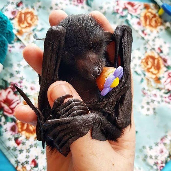 27張蝙蝠「其實超級可愛」的證據 抱大拇指撒嬌真的太萌❤