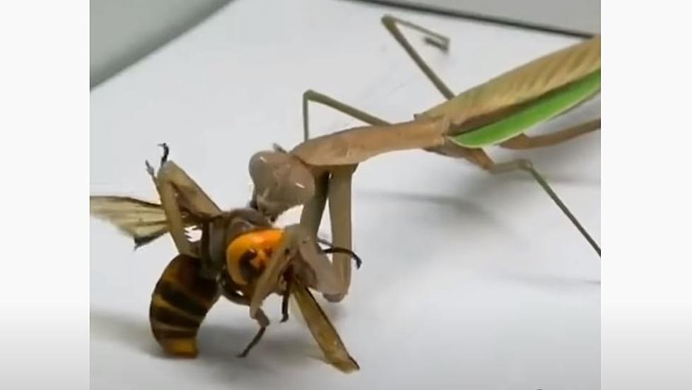 影/致命「殺人大黃蜂」有天敵 牠「2分鐘吃光」殘骸都不剩!