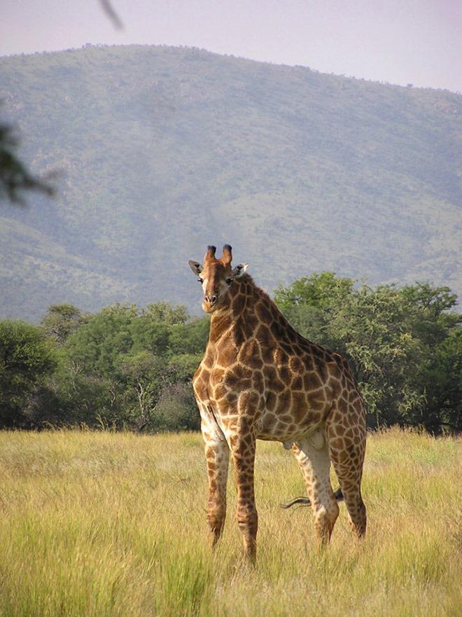 20張「脖子失蹤的動物」爆笑照 長頸鹿沒有脖子太獵奇