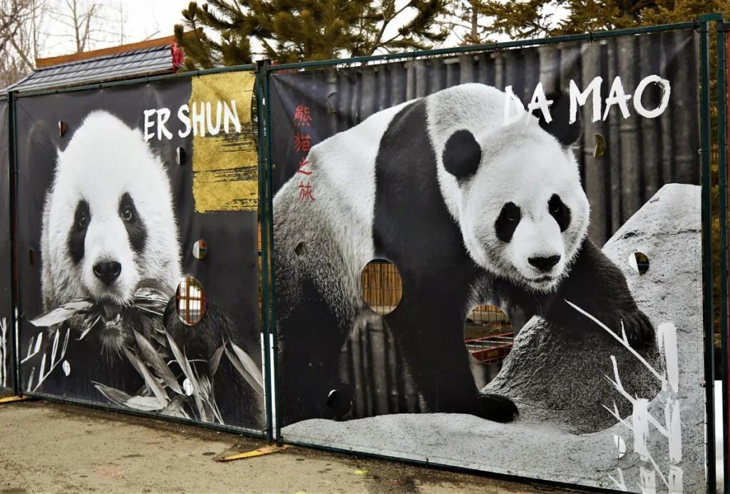加拿大決定提前把「友好貓熊」還中國 網友:恐跟挺台有關