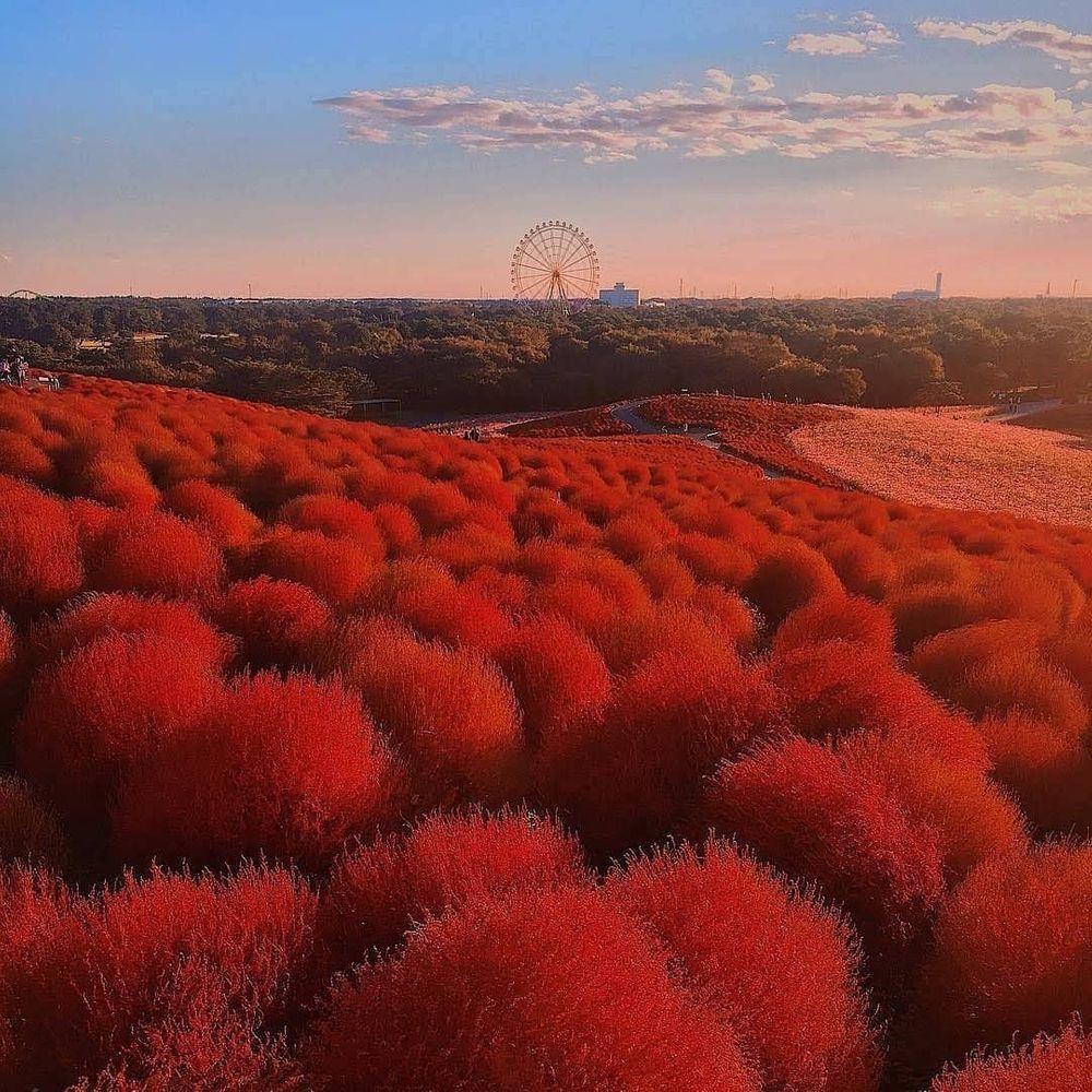 超磅礡「粉蝶花海季」每年都爆滿 跟天空「完美連線」!