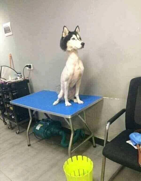 13張「狗狗剪毛爆笑照」哈士奇被剪成貴賓