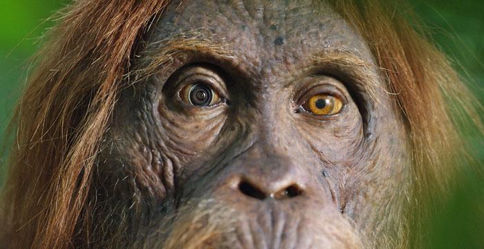 攝影師打造超逼真「間諜猩猩」 混入猩猩群「同伴反應」超獵奇!