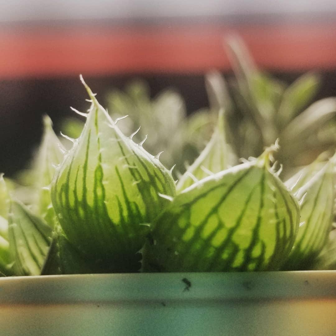透明「果凍系多肉」天生「超討厭水分」植物殺手也能種!