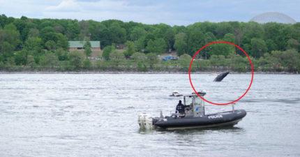 鬧區河中驚見「座頭鯨」浮水面 史上「首次現身」專家也傻眼!