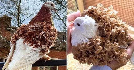 鴿子擁有「夢幻波浪捲」爆紅 專家曝是「人工特製」天生不愛飛