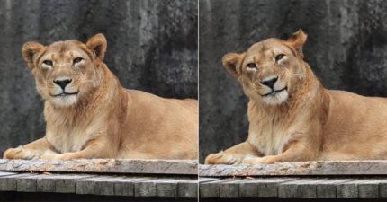 母獅「天生網美命」電暈攝影師 看見鏡頭「秒歪頭羞笑」!