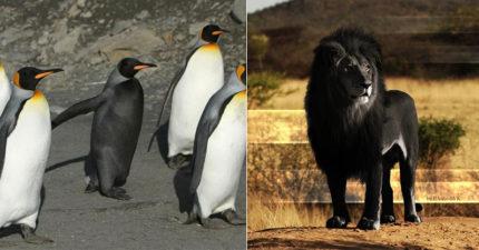 10隻「看起來像惡魔侍衛」的黑化動物 真正的黑豹比電影還帥!