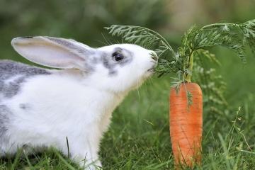 兔子其實「不能吃紅蘿蔔」 猴子「吃香蕉」還會瞬間變黑道!