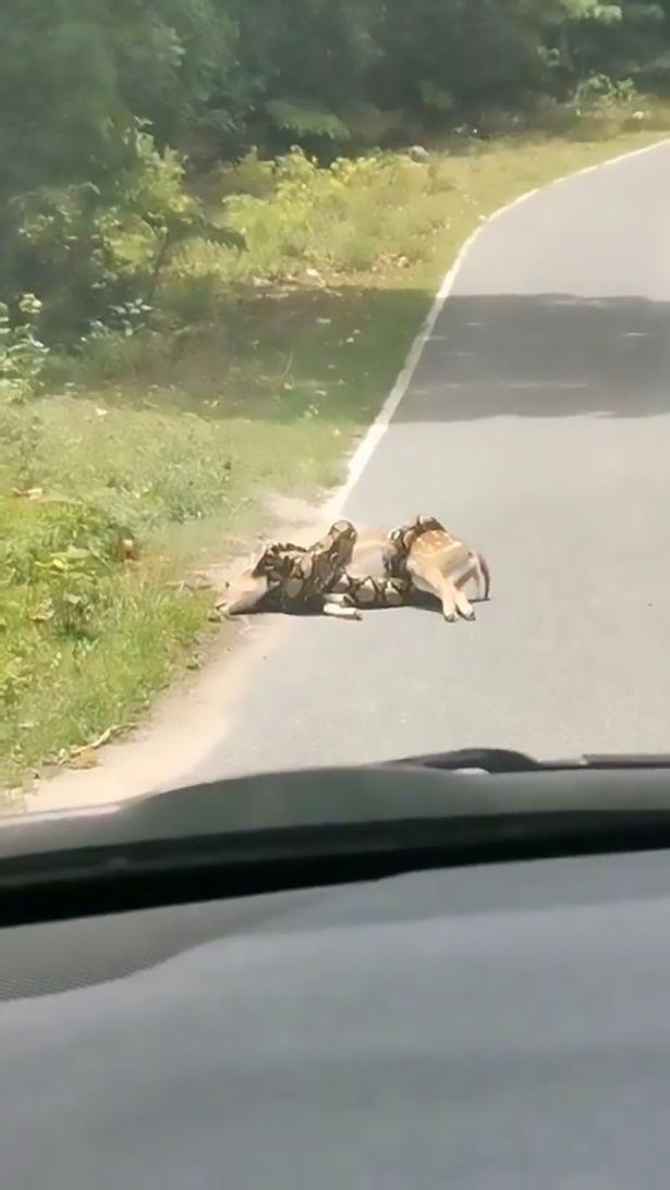 3米巨蟒快「吞下整隻小鹿」 男子「出手救援」反被罵翻!