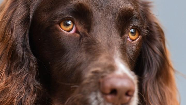 狗狗為了「跟人類溝通」進化到會動眉毛:拜偷給我吃的❤