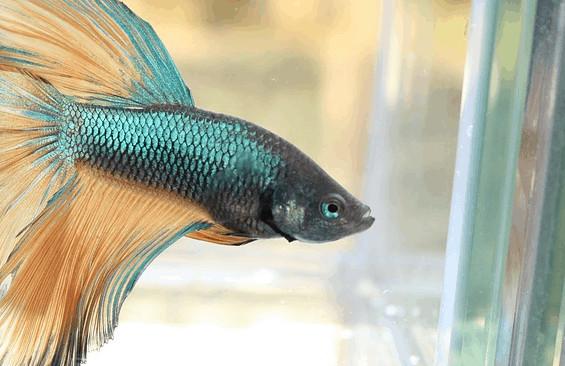 魚的記憶力不只3秒!鬥魚的智商連「推球特技」都能學會