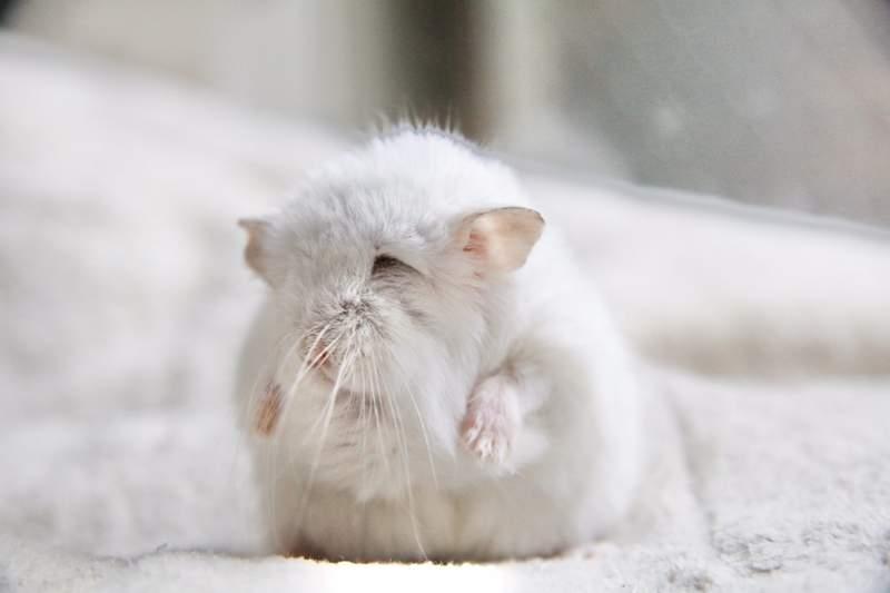 小倉鼠「超衝擊老年照」鼠奴都傻眼 養久會變「荒野女巫」?