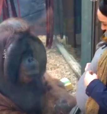 母猩猩「想摸孕婦」還親肚子 「母愛畫面」讓網嘆:太殘忍了