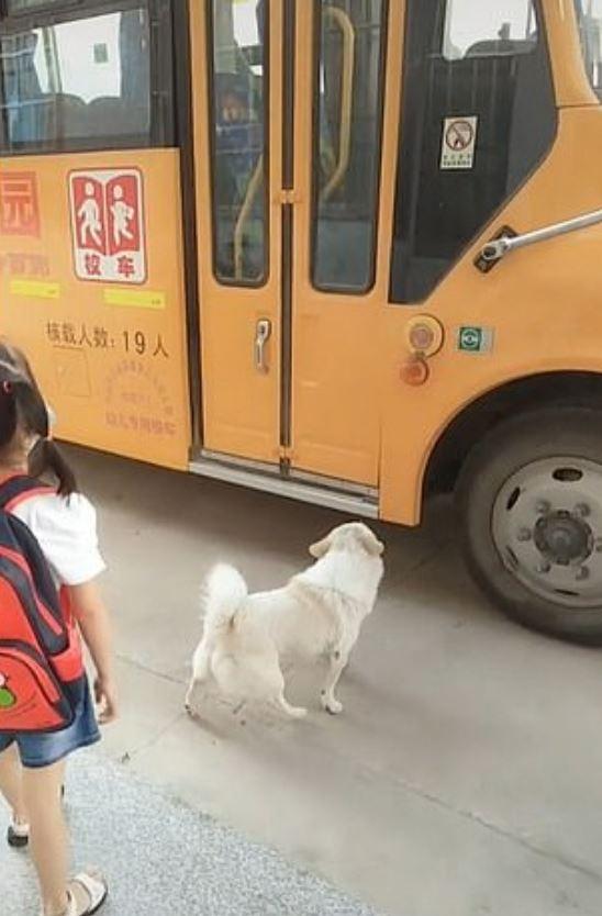 影/小白狗每天「送主人上下課」 準時到比爸媽還稱職!