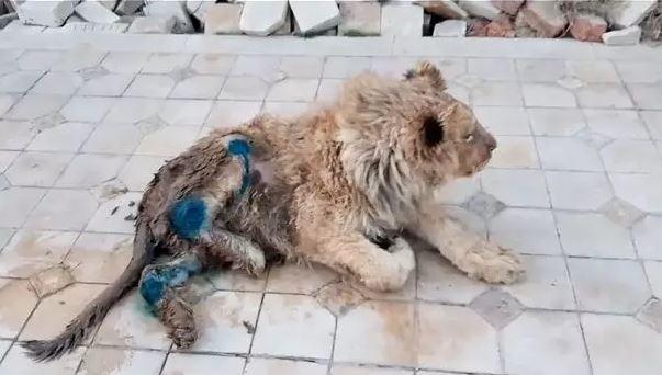 動物園「打斷獅子腿」讓遊客拍照 普丁下令:把那些人給我抓來!