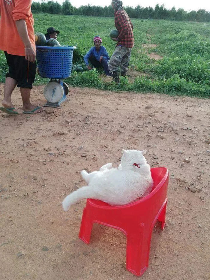 田僑仔貓貓「每天巡西瓜田」指揮 「臭臉行銷」賺到每餐吃好料!