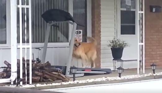 影/下大雨不能散步...狗狗只好「狂跑跑步機」洩憤