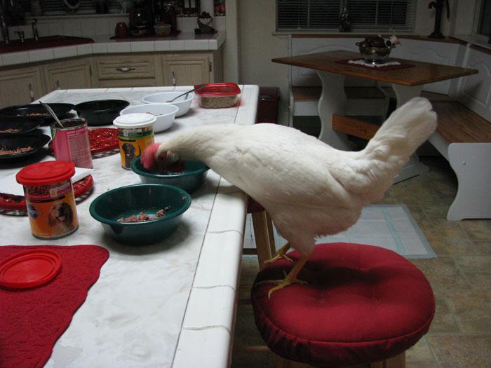 網紅公雞長出詭異「寶寶手臂」彎腰舉啞鈴...粉絲超愛
