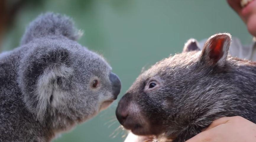 袋熊「借住無尾熊家」睡到變麻吉 每天磨鼻子打招呼太可愛 ❤