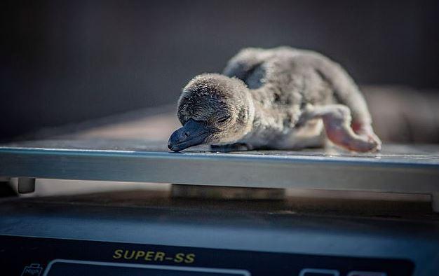 動物園無限期關閉!「冰島超市」霸氣領養所有企鵝