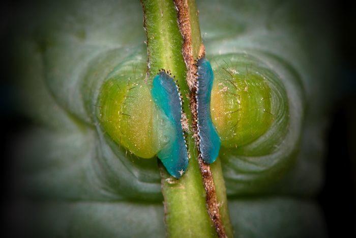 毛毛蟲「小腳腳」的獵奇真相 「緊抱樹枝」有說不出的詭異...