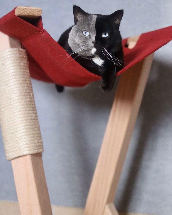 陰陽貓生小孩「1貓選1個顏色」 主人:每次花色都不一樣
