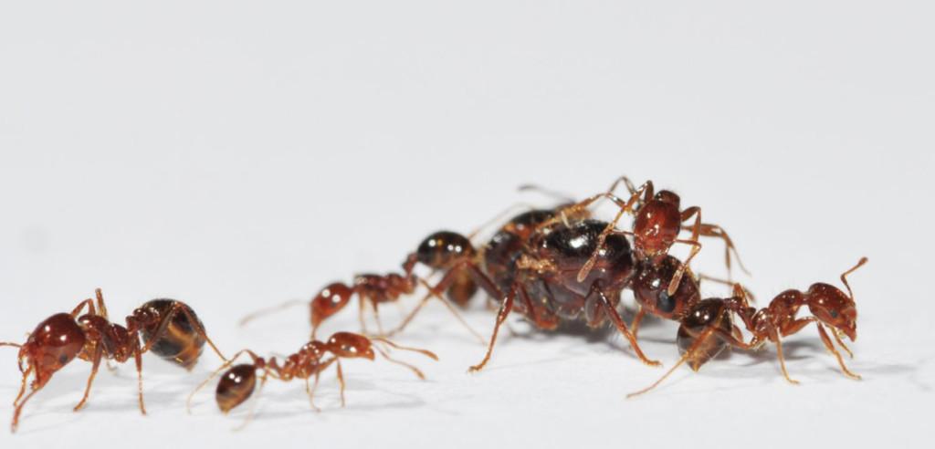 毒性超強「紅火蟻」入侵日本 首次出現是「中國貨船」偷渡!