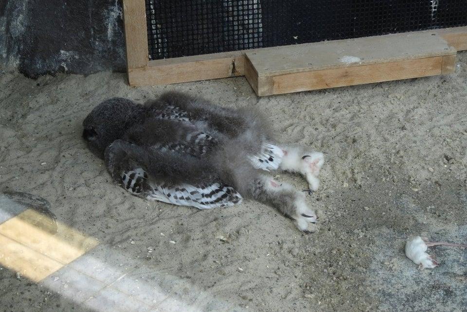 貓頭鷹為什麼永遠「趴著睡」?專家揭委屈真相:牠頭太重