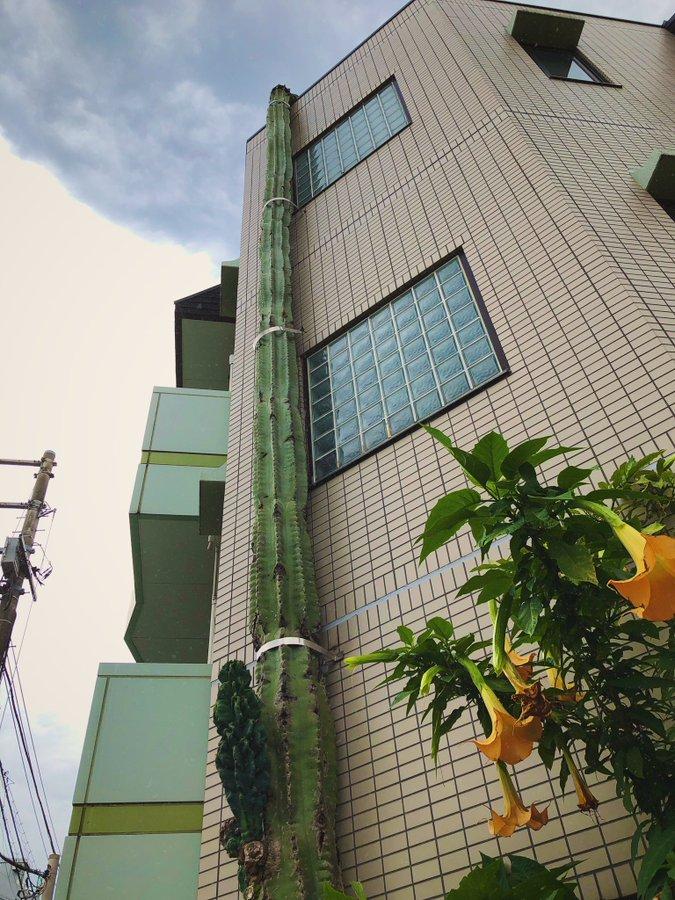 牆上「綠色電線桿」以為神木 走近一看才發現:仙人掌??