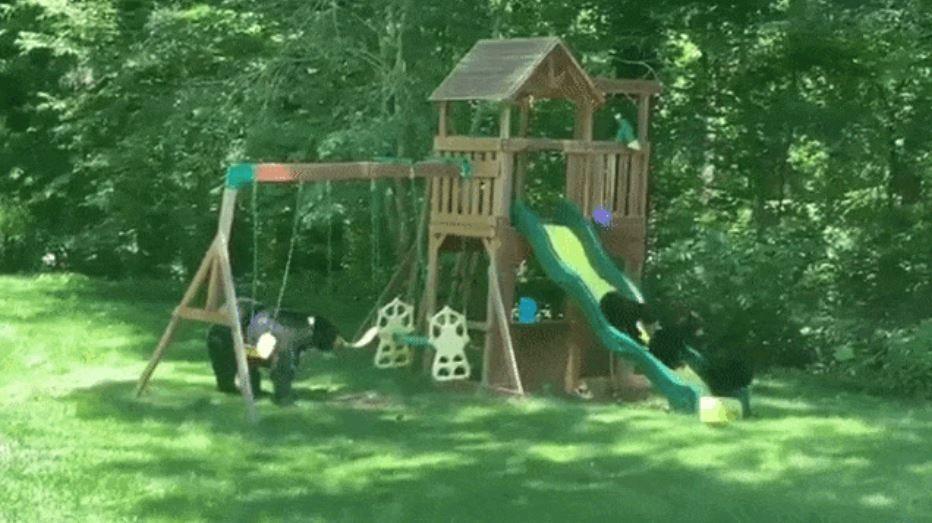 影/野生熊媽帶4寶「霸佔遊樂場」 學人類「溜滑梯」超療癒