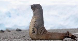 影/ 海豹版「沙灘瑜珈」動作超標準 「慢動作分解」讓你跟著學!