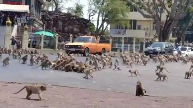 泰古城「被猴子佔領」進攻大街 畫面宛如真實版《猩球崛起》!