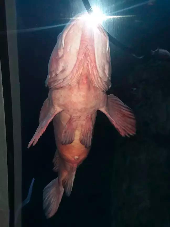 熟女逛水族館巧遇「詭異深海魚」被太巨大的害羞嚇傻!