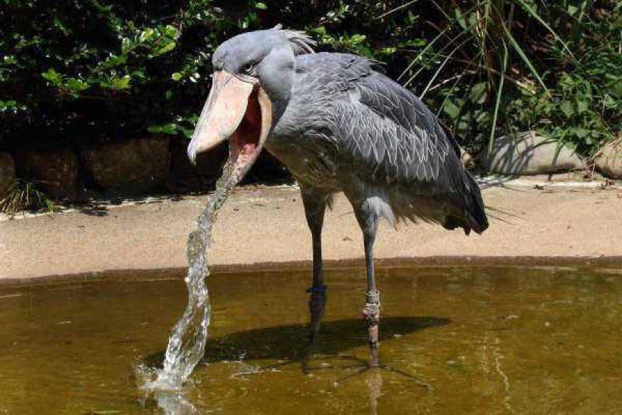 貪吃烏鴉用喙戳爆杯子「偷喝咖啡歐蕾」 一口下去忍不住猛吐!